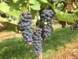 Wine grapes via crazylegsvineyard.com